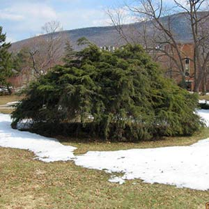 hemlock-trees